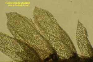 Callicostella pallida