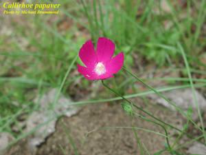 Callirhoe papaver