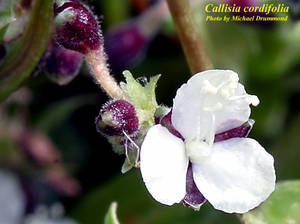 Callisia cordifolia