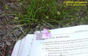 Callisia graminea