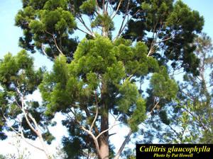 Callitris glaucophylla