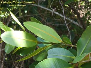 Calophyllum antillanum