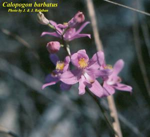 Calopogon barbatus