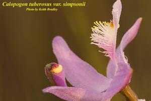 Calopogon tuberosus var. simpsonii