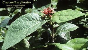 Calycanthus floridus