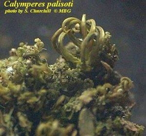 Calymperes palisotii