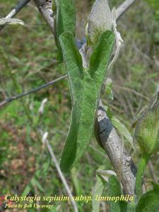 Calystegia sepium subsp. limnophila