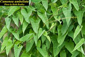 Camonea umbellata