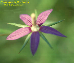 Campanula floridana