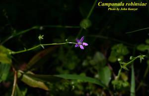 Campanula robinsiae