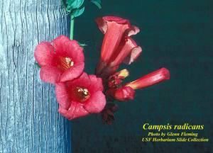 Campsis radicans
