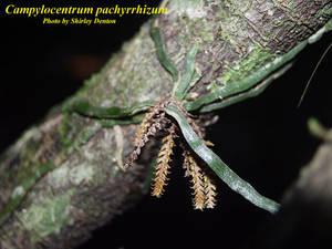 Campylocentrum pachyrrhizum