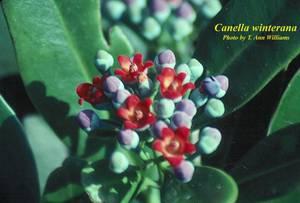 Canella winterana