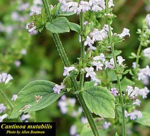 Cantinoa mutabilis