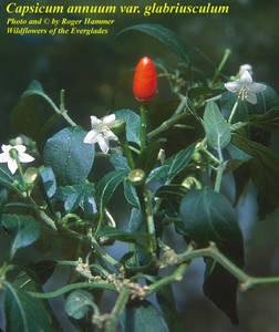Capsicum annuum var. glabriusculum