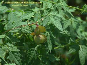 Cardiospermum microcarpum
