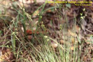 Carex atlantica subsp. capillacea