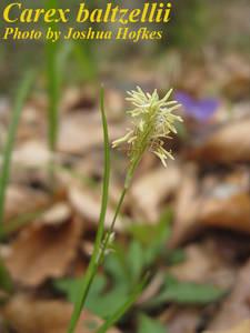Carex baltzellii