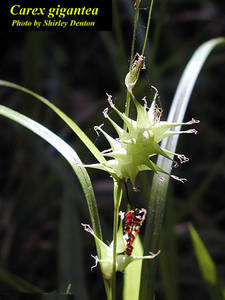 Carex gigantea