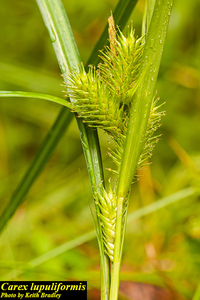 Carex lupuliformis