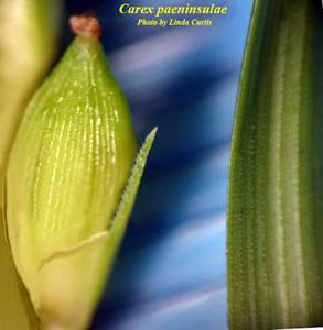 Carex paeninsulae