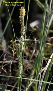 Carex verrucosa