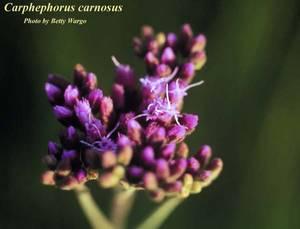 Carphephorus carnosus