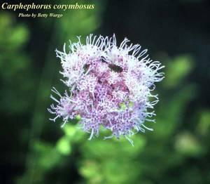 Carphephorus corymbosus