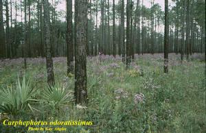 Carphephorus odoratissimus