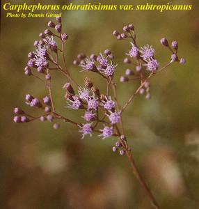 Carphephorus odoratissimus var. subtropicanus