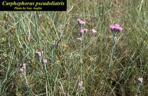 Carphephorus pseudoliatris