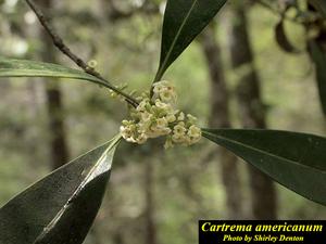 Cartrema americanum