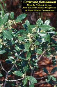 Cartrema floridanum