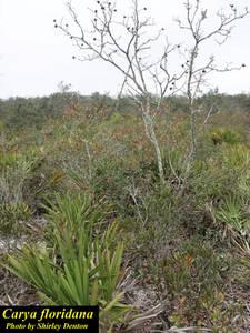 Carya floridana