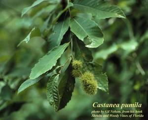 Castanea pumila