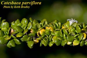 Catesbaea parviflora