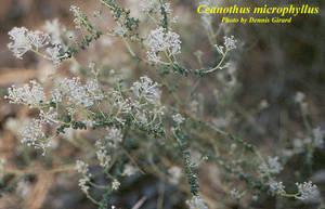 Ceanothus microphyllus