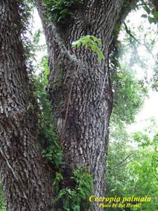Cecropia palmata