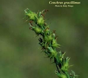 Cenchrus gracillimus
