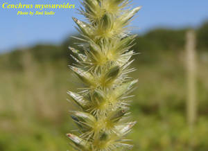 Cenchrus myosuroides