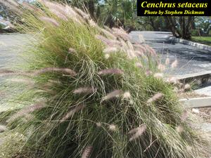 Cenchrus setaceus