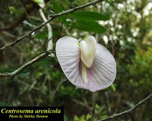 Centrosema arenicola