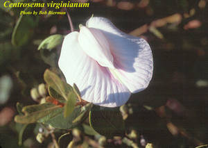 Centrosema virginianum