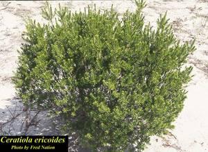 Ceratiola ericoides