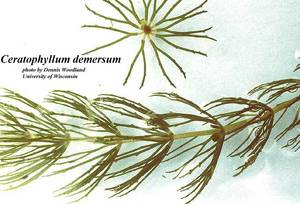 Ceratophyllum demersum