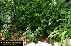 Ceratotheca triloba