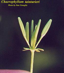 Chaerophyllum tainturieri