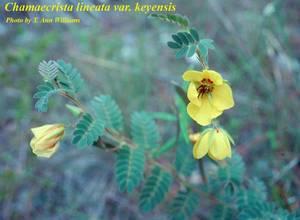 Chamaecrista lineata var. keyensis