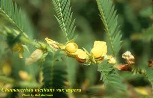 Chamaecrista nictitans var. aspera