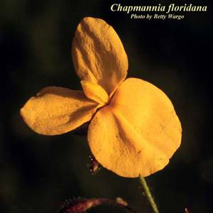 Chapmannia floridana